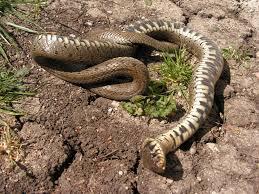 serpiente vietnamita